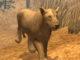 Vahşi Hayvanlar Afrika 3d